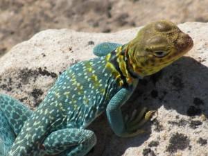 an eye-catching reptile!